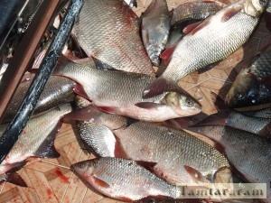 Рыба в Волге исчезает