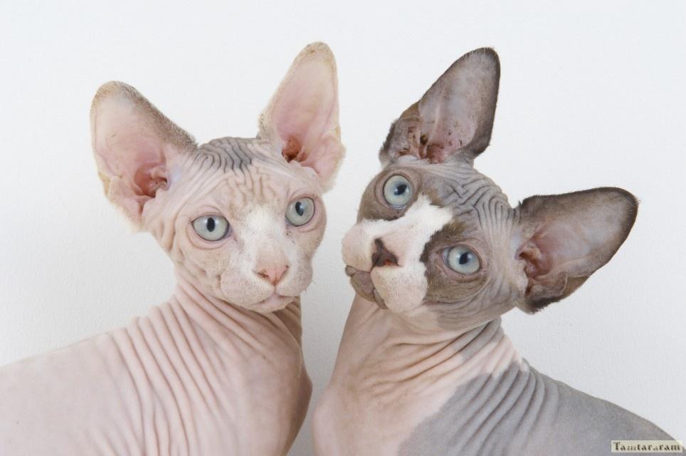 Фантастическая кошка фараонов - Сфинкс